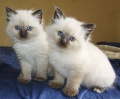 Chloe & Lola (Jemma's kittens) my ragdolls