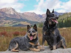 Cattle dogs Sika & Wiley in the Colorado Mountains.