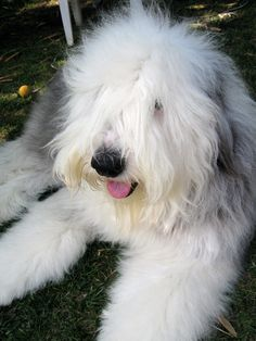 Old English Sheepdog Animals And Pets, Cute Animals, St Bernard Puppy, Sheep Dogs, Paw Paw, Goldendoodles, Old English Sheepdog, Draco, Doge
