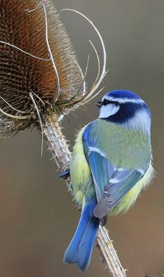 Blue Tit (Parus caeruleus). Widespread throughout the UK. Its favoured habitat is deciduous woodland but is also frequently seen in parks and gardens. Diet consists of insects, caterpillars, nuts and seeds. #Birds #UK