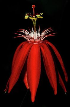 Red Hot Passion flower