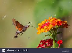Download this stock image: Macroglossum stellatarum nectar feeding on flowers of Lantana camara - H95Y9W from Alamy's library of millions of high resolution stock photos, illustrations and vectors.