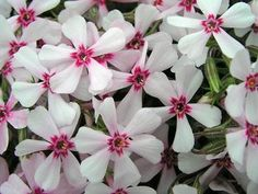 Apple Blossom Phlox - great for ground cover, with low water requirements.