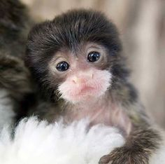 Baby Emperor Tamarin... Can't stand the cuteness!!!