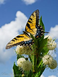 Swallowtail - my favorite.  Don't know the flower