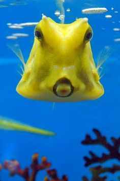 Cowfish Had a longhorn cowfish in a saltwater aquarium once. Exoskeleton. Moved more like a helicopter than a fish.