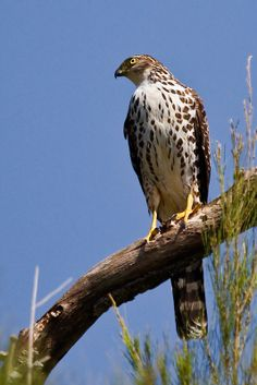 Raptor Bird Of Prey, Birds Of Prey, Falcon Hawk, Cooper's Hawk, Storks, Bird Wallpaper, Animal Totems, Raptors