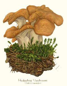 'Hedgehog Mushroom' restored antique mushroom illustration - via Charting Nature