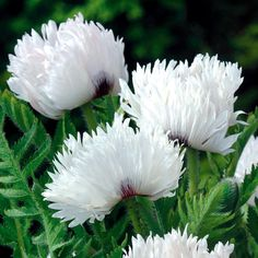 WHITE POPPIES - Yahoo Image Search Results