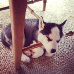 Fell asleep under table 😄 Labrador, Cocker, Kittens And Puppies, Puppy Pictures, Kittens Cutest, Cat Day, How To Fall Asleep, Cats Of Instagram, Cat Lovers