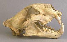 Will's Skull Page - Tiger Skull