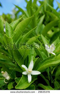 Orange tree detail with white flowers by MilaCroft, via ShutterStock