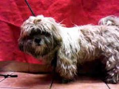 A4528961 URGENT DOWNEY SHELTER is an adoptable Lhasa Apso Dog in Downey, CA. **WE NEED VOLUNTEERS TO POST & REMOVE PETS ON PETFINDER. IF YOU CAN COMMIT TO THE CAUSE OF HELPING SAVE SHELTER ANIMALS, PL...