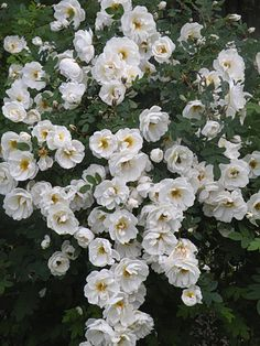 Juhannusruusu = 'midsummer rose' real latin name is Rosa Pimpinellifolia. It blooms in midsummer :)