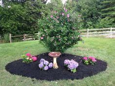 Rose of Sharon bush with Hydrangeas