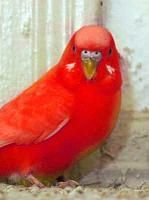 English Budgie Show Breeders | Red Budgies