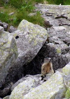 Marmot, West Tatras, Slovakia