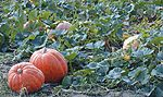 Pick Your Own Fruits & Veggies - find farms near you to pick your own pumpkins, apples, blueberries and more!