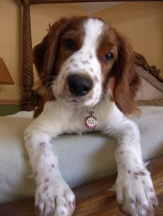 I want this dog, reminds me of Brewster Springer Dog, Welsh Springer Spaniel, Cocker Spaniel, English Springer, Baby Puppies, Dogs And Puppies, Doggies, I Love Dogs, Cute Dogs