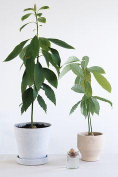 Wie man eine Avocado-Pflanze von Hannah im Haus züchtet avocado pflanzen Fruit Garden, Garden Trees, Avocado Dessert, Indoor Avocado Tree, Indoor Garden, Indoor Plants, Growing An Avocado Tree, Decoration Plante, Plants Are Friends