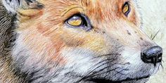 FOX Drawing done w/chalks or pastels. Found on 50 Awesome Pencil drawings.com