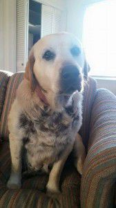 Hi!  I'm Polly! I'm a 7- to 8-year old Lab mix that weighs about 74 lbs.  Plenty of love  here to give!  I am friendly, well-mannered, and get along with all 4-legged critters!  Seriously, I love other animals.  If you have some, we can totally be friends....I am coming to PA on 2/20.  I can't wait to meet you!