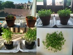 Growing Cilantro step by step