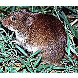 How To Get Rid Of Voles In Your Yard The Housing Forum