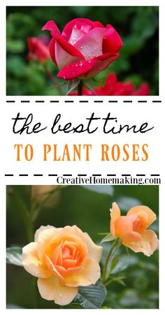When is the best time for planting roses? Find out why spring is the best time to plant your rose garden.
