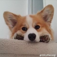 Look at that corgi face and paws Z