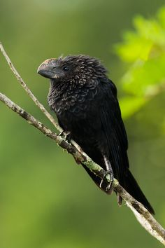 Smooth Billed Ani / birds of a feather - looks like Skeksis :) Pretty Birds, Love Birds, Beautiful Birds, Birds 2, Small Birds, Colorful Birds, Kinds Of Birds, Mundo Animal, Exotic Birds
