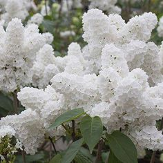 Angel White Lilac flowers