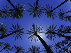 Date Palm Trees in California