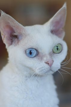 Devon Rex they some times have blue and green eyes like this one