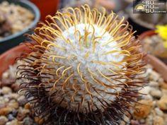 Mamillaria Perezdelarosae Cactus - Yellow Spines