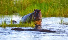 Hippos on the Zambezi River in Zambia