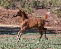 Owl Creek Ranch Arabians :: Home