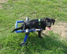 Handicapped Pets: Wheelchair Dog Dex Achieves First Title