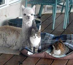 bottle fed alpaca grew up with cats.. ~~~ Makes me wanna cuddle up with em'. :-)  There's a short video as well as more adorable photos. ♥!  Just click the pic and enjoy. :-)