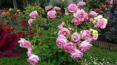 'Bienvenue (climber, Delbard 1999)' rose, click to enlarge