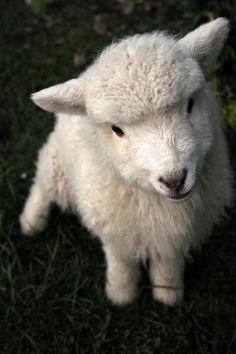 adorable little white lamb