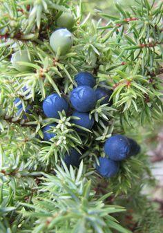 Juniper Berry essential oil (Albania)