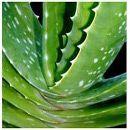 Propiedades medicinales y usos del Aloe Vera o Sábila ecoagricultor.com