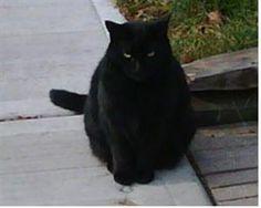 Lost Cat - Domestic Short Hair - Hamilton, ON, Canada L9C 2H4