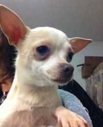 Francie is an adoptable Chihuahua Dog in Lambertville, NJ. FRANCIE is a very shy 3 year- old tan and white female Chihuahua. She was surrendered by a backyard breeder along with 20 other dogs. A call...