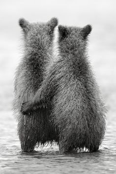 """Bear Cubs: """"Bro., Remember: Mom told us we have to catch our first salmon today; and we can't go home until we've caught one!"""""""