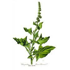 Stolt henrik -chenopodium bonus-henricus -  edible leaves + tops + seeds