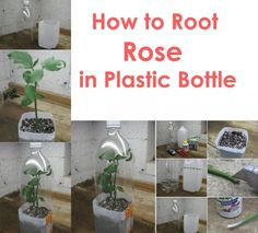 How-to-Root-Roses-From-Cuttings