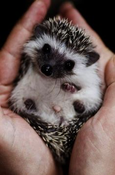 Cute Hedgehog- that face Cool websites where to buy sexy dresses? . like my pins? like my boards? follow me and I will follow you unconditionally and share you stuff only if its pretty and cute :D :D