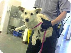**URGENT*** Scottsdale, AZ - Cairn Terrier Mix. Meet BARNEY, a dog for adoption. I'm being cared for by: Maricopa County Animal Care & Control - PetSmart Charities Adoption Center http://www.adoptapet.com/pet/14366240-scottsdale-arizona-cairn-terrier-mix
